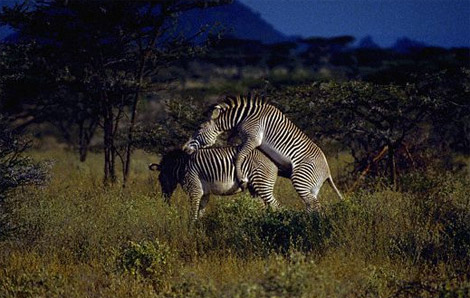 Секс осла с зеброй фото 322-886