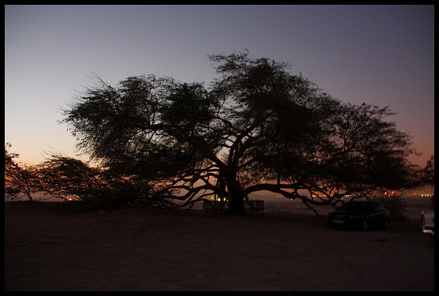Дерево жизни вечером. Бахрейн. Фото