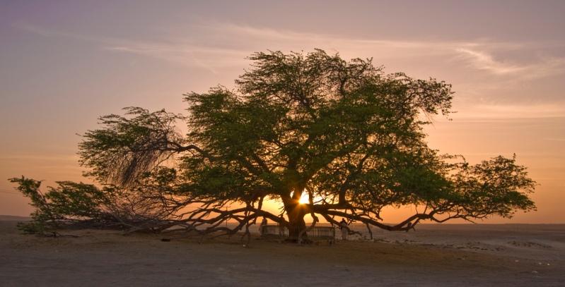 Дерево жизни на закате. Бахрейн. Фото