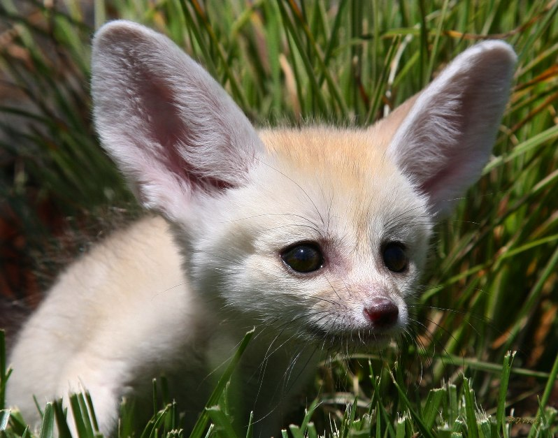Детеныш фенека. Фото / fennec fox photo