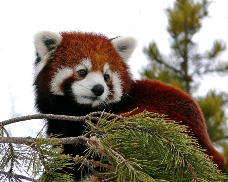 фото панда малая