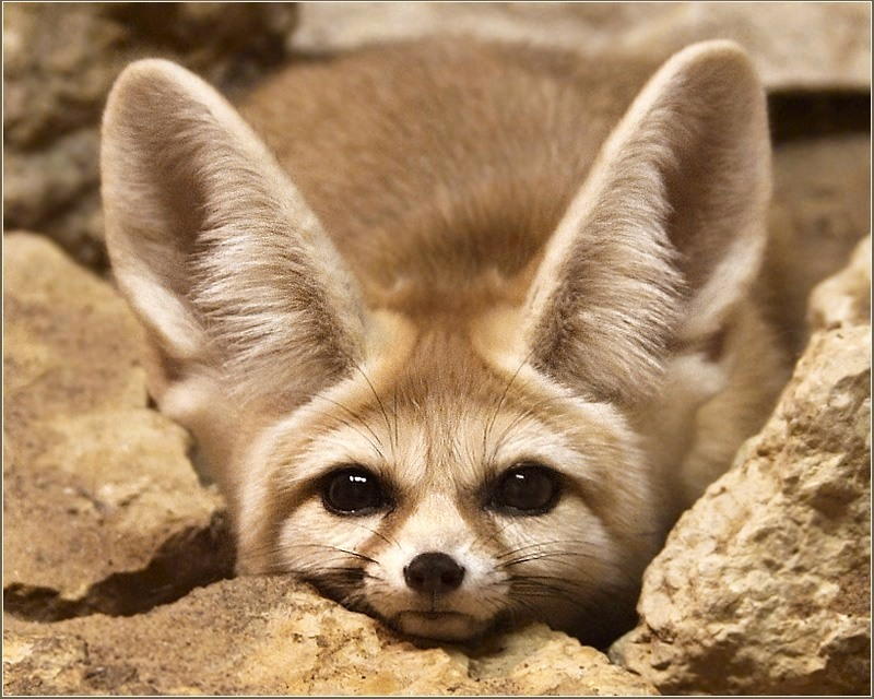 Фенек. Фото / fennec fox photo