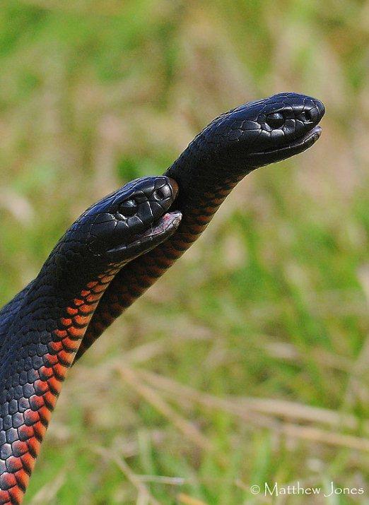 змея ехидна фото