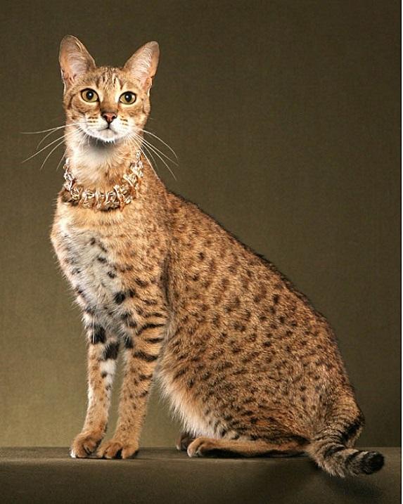 Саванна кот в москве