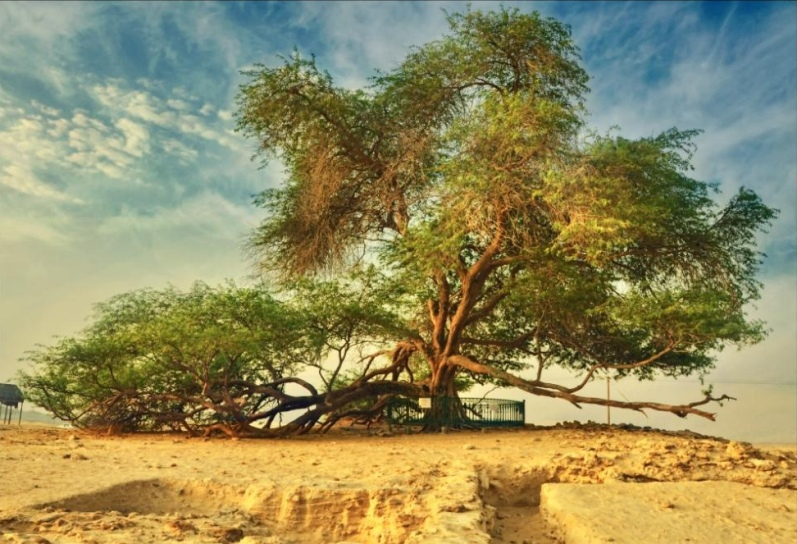 Дерево жизни днем. Бахрейн. Фото