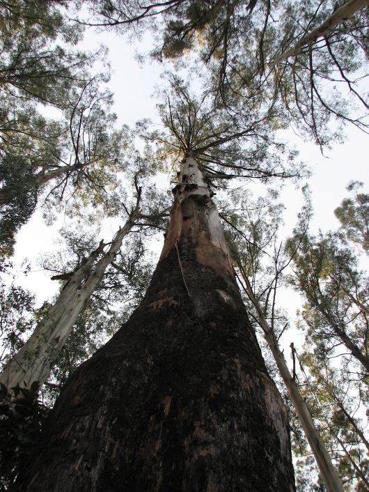 царственный эвкалипт - самое высокое дерево всех времён. Фото