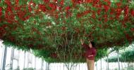Помидорное дерево Спрут F1 – гигантский томат с урожайностью в 1.5 тонны в год