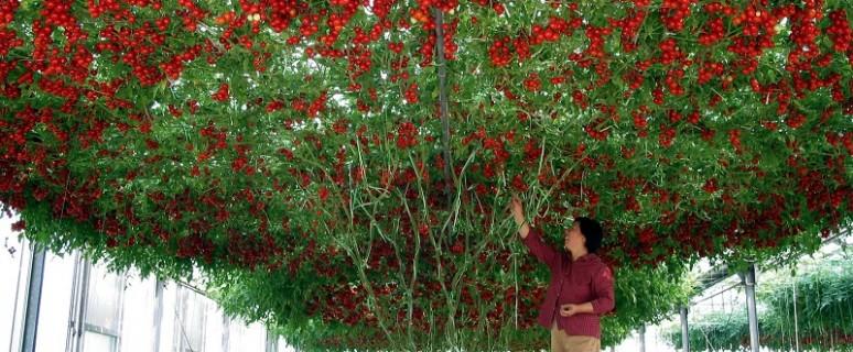 фото помидор спрут