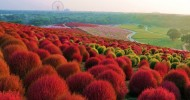 Мир цветов в Японии – неповторимый национальный приморский парк Хитачи
