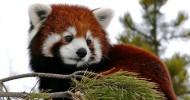Красная панда – самый ми-ми-мишный медведь в мире