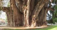 Священное дерево Туле – самое толстое дерево в мире, Мексика