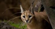 Каракал — степная рысь (9 фото)