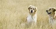 Порода собак золотистый ретривер (35 фото)