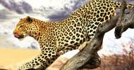 Гепард (описание, 30 фото)