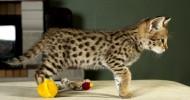 Кошка породы саванна (28 фото)
