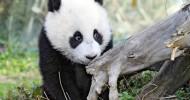 Панды — самые успешные животные на Земле