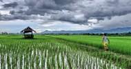 Шесть дней из жизни одного рисового поля