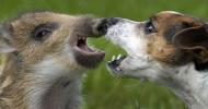 Дружба кабанчика и щенка