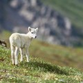 27goatling-on-alps