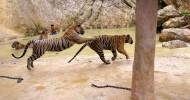 Храм тигров в Таиланде (26 фото)