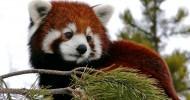 Красная панда (описание, 36 фото)