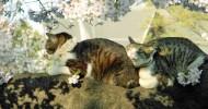 Коты и сакура (21 фото)