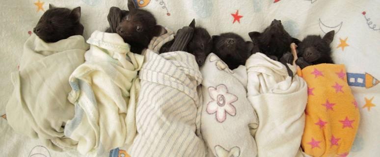 australian-bat-clinic-14