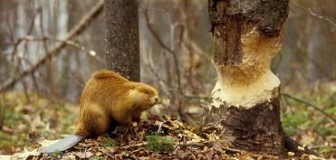 beaver-39