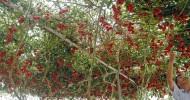 Помидорное дерево Спрут F1 (11 фото)