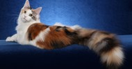 Коты породы мейн-кун (28 фото)