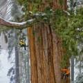 giant-sequoia-trees