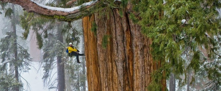 giant-sequoia-trees