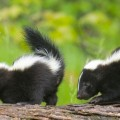 Skunk Kits on Log