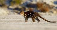 Сумчатая кошка – Кволла