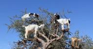 Марокканские козы, пасущиеся на деревьях