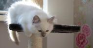 Голубоглазые кошки породы рэгдолл (30 фото)