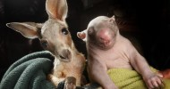 Дружба детенышей вомбата и кенгуру