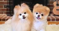 Померанский шпиц Бу — самая популярная собака Фейсбука