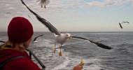 Наглые чайки. Подбор фотографий