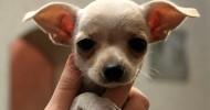 Собаки породы чихуахуа (21 фото)