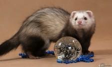Хорек и стеклянный шар