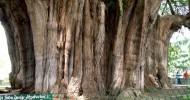 Туле — самое толстое дерево в мире (11 фото)