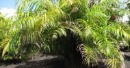 Растения-рекордсмены (13 фото)