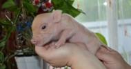 Мини-пиги (описание, уход). 40 фото