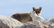 Необычная дружба кошки и лисы (11 фото)