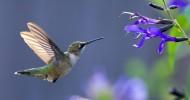 Колибри — самая маленькая птица в мире (30 фото)