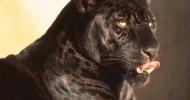 Черная пантера (описание, 17 фото)