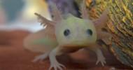 Улыбающаяся саламадра Аксолотль
