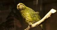 Какапо — нелетающий попугай из Новой Зеландии (26 фото)