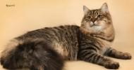 Сибирские кошки: уход и внимание (30 фото)